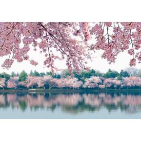 Фотообои Престиж Сакуры №8