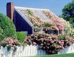 Из первых уст: Как правильно выращивать плетущиеся розы