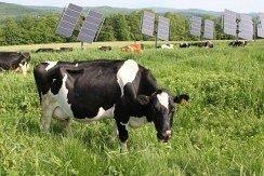 В Николаевской области жители села выступили против строительства солнечной станции. Говорят, что коровы будут болеть