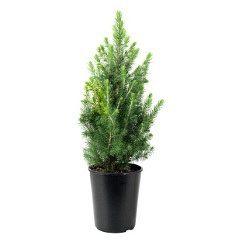Хвойні рослини