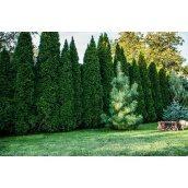 Озеленення хвойними рослинами