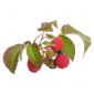 Плодово-ягідні кущі