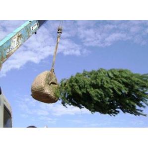 Пересадка крупномерных деревьев и кустов