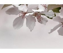 Плитка керамическая BELANI Панно Сакура 3 35х25 см бордовый
