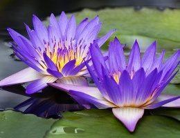 Из первых уст: Как правильно выращивать водяные лилии