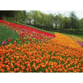 Озеленение участка тюльпанами