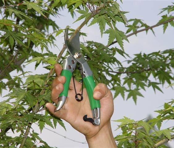 Обрезка деревьев, омоложение деревьев