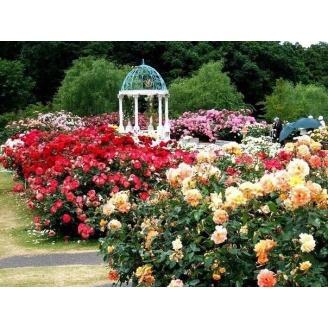 Озеленение участка розами